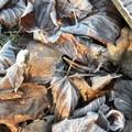 De jolies feuilles gelées, tout comme moi par ces températures