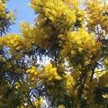 HUMMMMMle parfum des MIMOSAS au soleil dans l'Île Madame