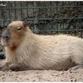 Capybara ou cabiai (plus gros rongeur)