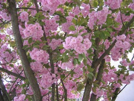 arbre_rose_villepa
