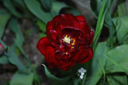 tulipe_j_p1