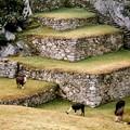 les terrasses de l'esplanade avec les derniers lamas du Machu