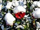 tn_rose_neige_jpg