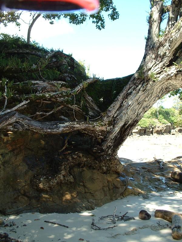Le viel arbre qui s'accroche à la verticale