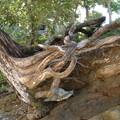 Les racines s'accrochent à la pierre