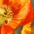 poppies_std