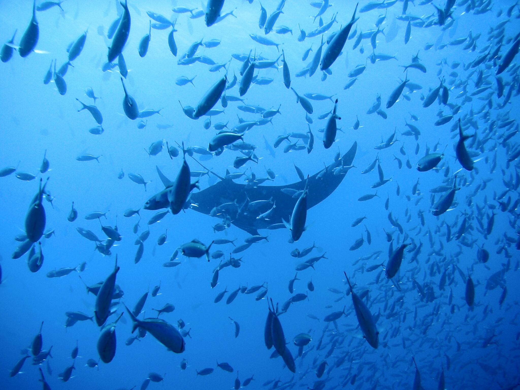 Raie manta et poissons