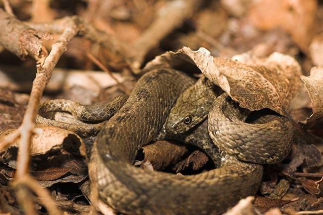 Couleuvre vipérine (Natrix maura)