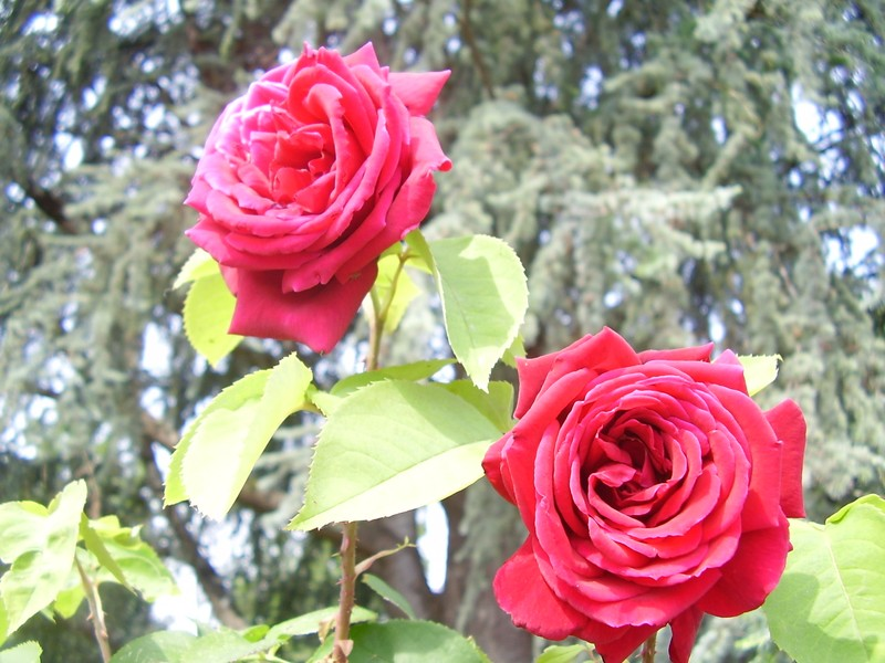 roses camboardes