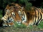 tigres_04